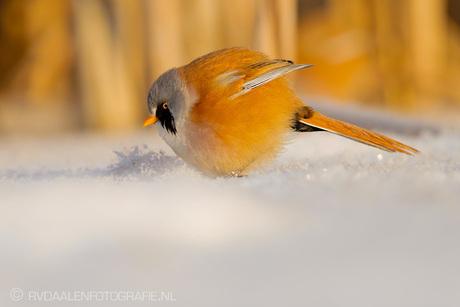 Baardman in de sneeuw!!!
