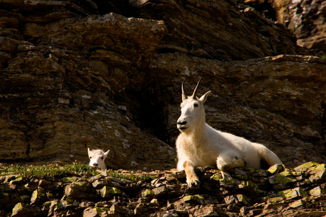 Jonge Mountain Goat