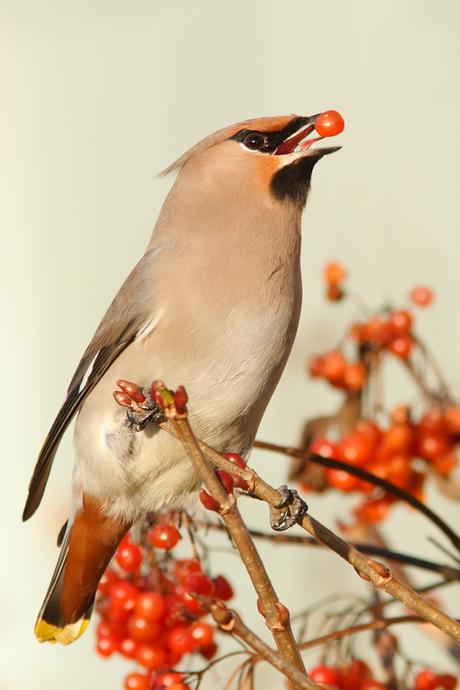(Pest)vogelen voor Dummies