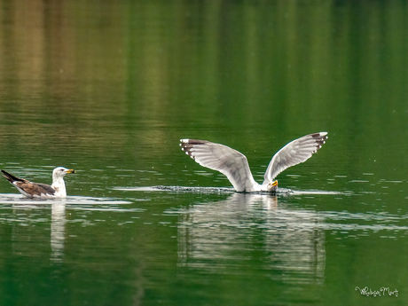 Meeuw landing