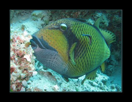 triggerfish - malediven
