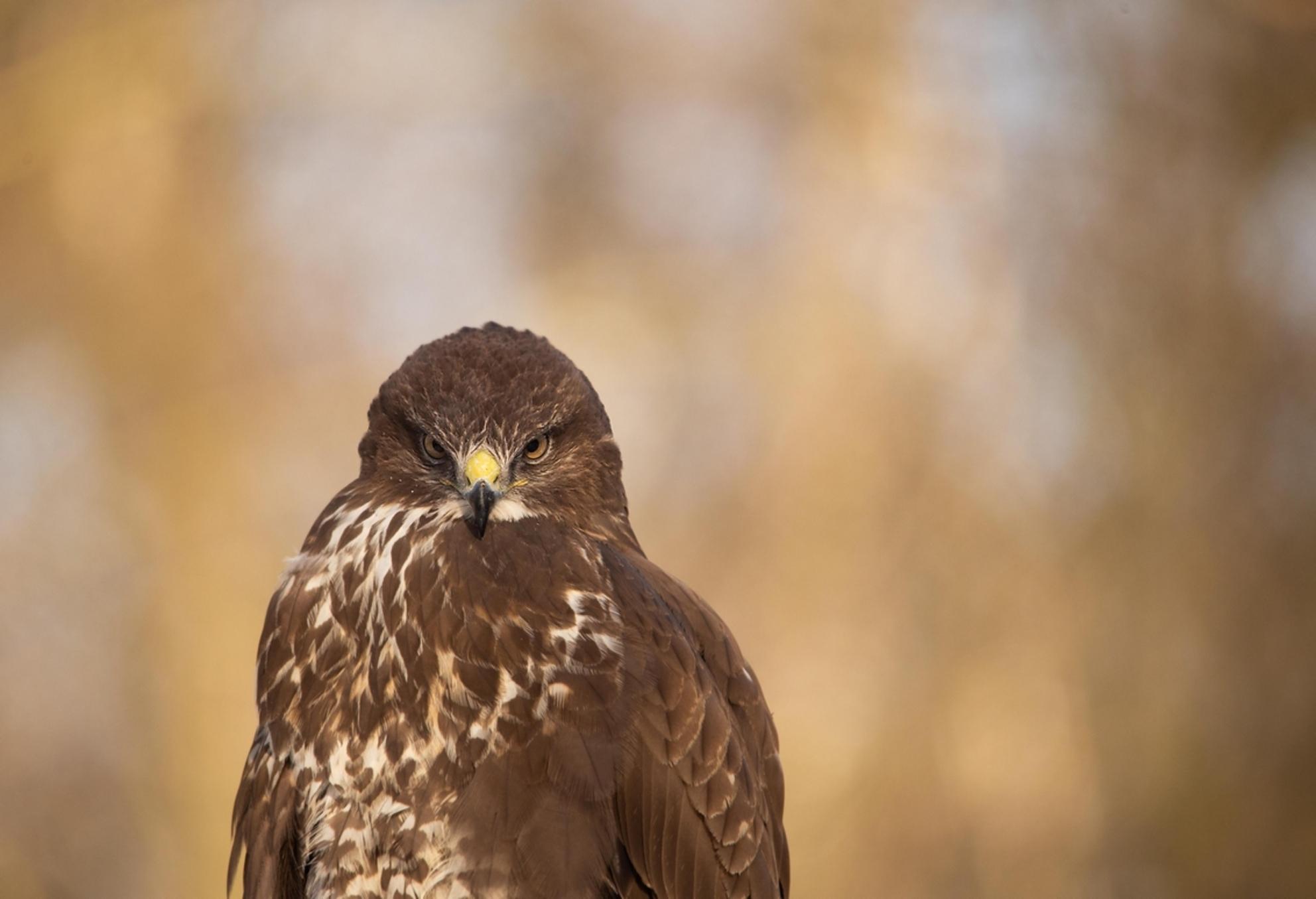 loens - ik moet altijd een beetje lachen als zo'n hele stoere vogel recht in de lens kijkt..een beetje loensig ..word ie een stuk minder imposant van en eige - foto door dylano_zoom op 25-02-2021 - deze foto bevat: natuur, dieren, vogel, buizerd, roofvogel, wildlife, dylano - Deze foto mag gebruikt worden in een Zoom.nl publicatie