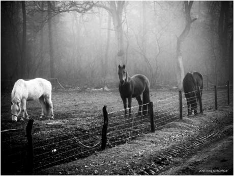 'Paarden in de mist'