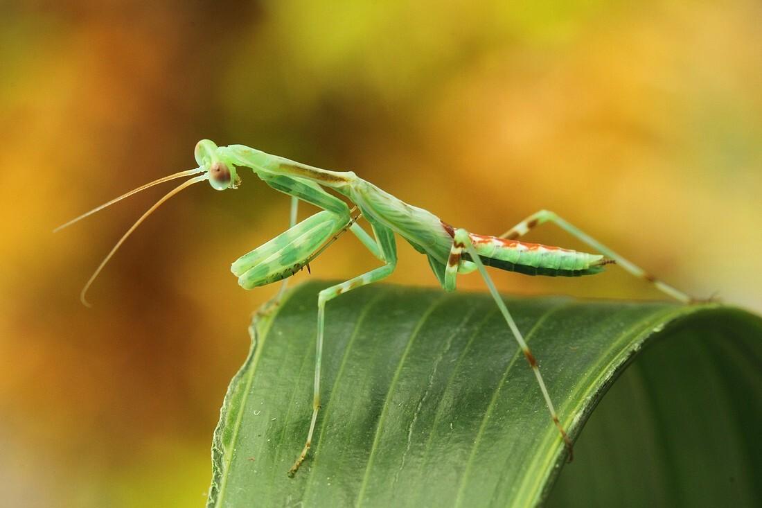miomantis - er was blijkbaar heel wat bijzonders te zien..koppie naar beneden ..voelsprietjes... in de lens kijken ho maar.. deze mantis is nu drie keer vervel - foto door dylano op 24-02-2015 - deze foto bevat: groen, macro, insect