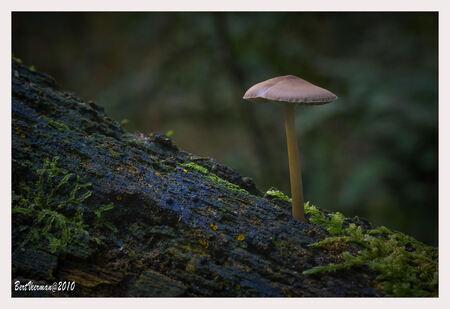 Mycena - Piep klein paddestoeltje op een boomstam , gefotografeerd onderaan de stuwwal van het Grote Goor , bij Miste /Corle - foto door a.veerman1 op 20-09-2010 - deze foto bevat: natuur, paddestoelen, beve, bert veerman
