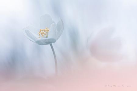 Softness on my mind - Gelukkig trekken de bosanemonen zich niks aan van het Corona virus - foto door Puck101259 op 15-03-2020 - deze foto bevat: macro, wit, bloem, soft, natuur, licht, voorjaar, bosanemoon, flora, dof, zacht, moody, mood, bokeh, brigitte