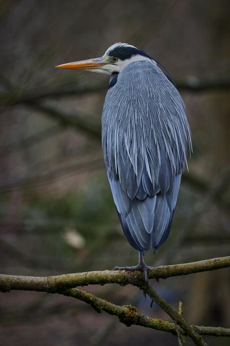 De reiger.. - Rustend op een tak, zijn omgeving goed in de gaten houdend. - foto door Christiaan_zoom op 17-02-2021 - deze foto bevat: natuur, dieren, veren, vogel, bos, reiger, nederland, grijs, poten, snavel, verenkleed