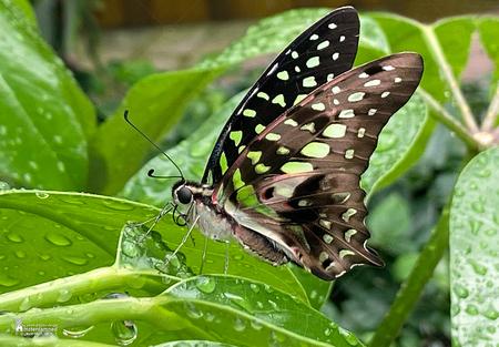"""Vlinders aan de Vliet - De Graphium agamemnon vlinder bij """"Vlinders aan de Vliet"""".  Omdat ik nog erg moet wennen met mijn Canon EOS R maak ik tegenwoordig ook gewoon macro - foto door amsterdamned_zoom op 14-10-2020 - deze foto bevat: vlinder, insect, holland, nederland, vlindertuin, leidschendam, amsterdamned, vlinders aan de vliet, Zuid Holland, Graphium agamemnon"""