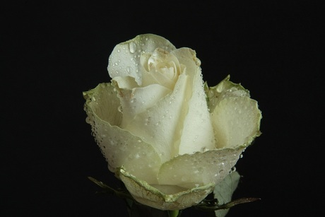 The Rose 1