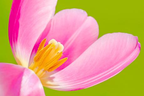 Prachtig tulpje