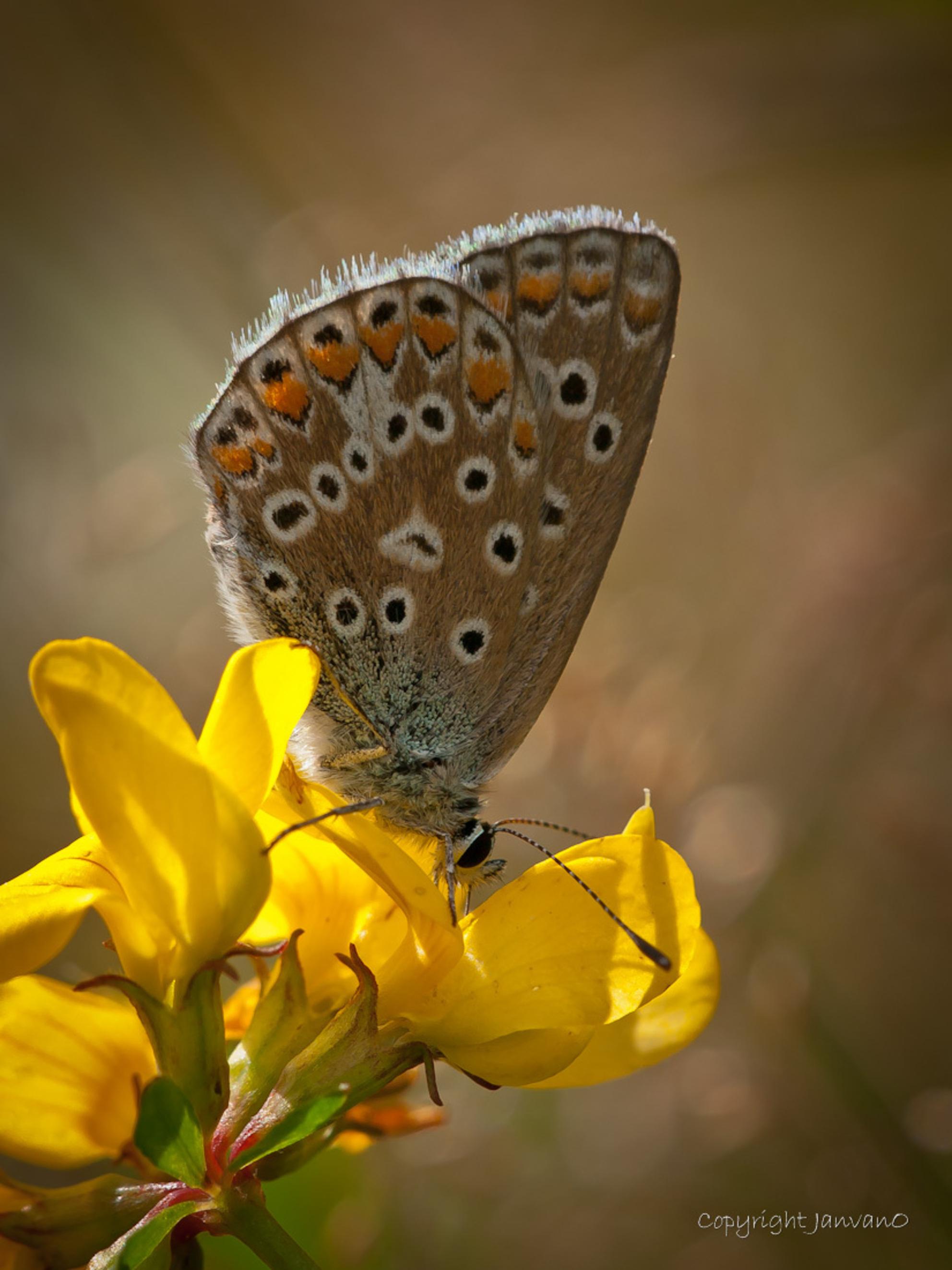 Icarus 2012 - Een icarusblauwtje.  Van augustus 2012 - foto door JanvanO op 30-09-2012 - deze foto bevat: vrouw, macro, natuur, vlinder, icarusblauwtje, butterfly, janvano, Polyommatus icarus, olympus e-3, Sigma 150mm