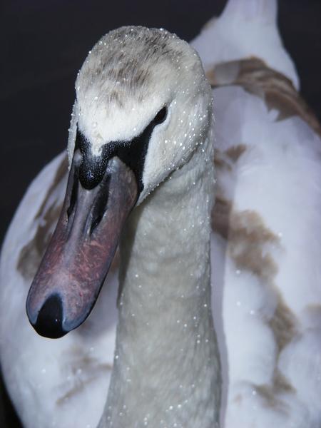 Zwaan - Een close-up van een zwaan in het water in Hyde Park in Londen. - foto door eklaassens86 op 08-12-2016 - deze foto bevat: wit, water, park, herfst, winter, zwaan, koud, nat, witte, dauw, dauwdruppels