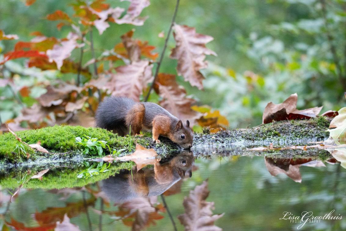 Eekhoorntje - Lens: Tamron SP 150-600MM F/5.0-6.3 DI VC USD G2  Instellingen:  S 1/800 F/5 ISO 2500 - foto door LGphotography op 19-10-2020 - deze foto bevat: natuur, herfst, dieren, eekhoorn, bos, nederland, weerspiegeling