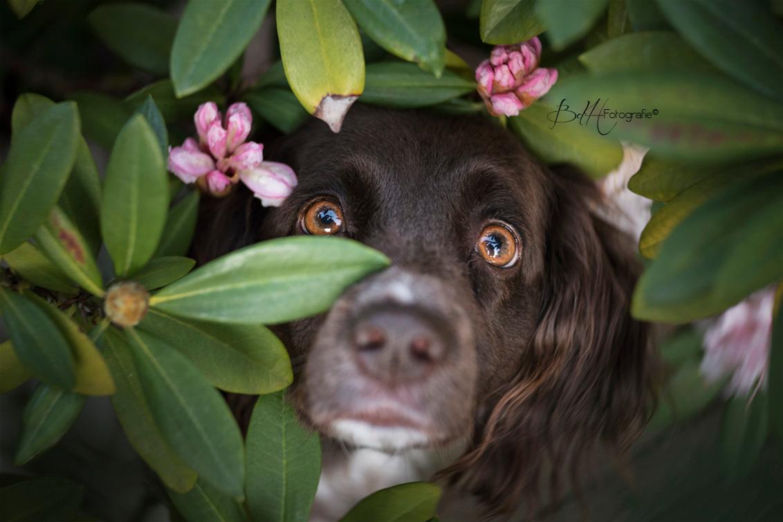 Hi lieffie - Deze foto geeft precies weer zoals mijn hondje is. Super lief en een echt clowntje. - foto door BiancadH op 25-04-2020 - deze foto bevat: licht, tuin, bloemen, huisdier, hond, voorjaar, dier, ogen, bloesem, lensbaby, scherptediepte, dof, jachthond, heidewachtel, rhodondendron, twist60