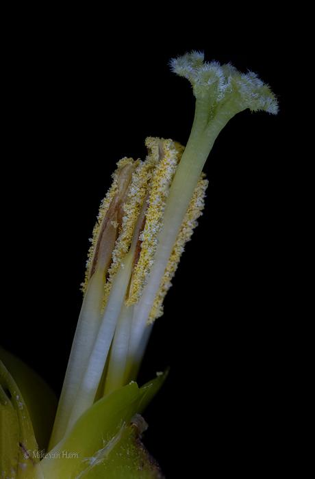 Stamper Vriesea Carinata