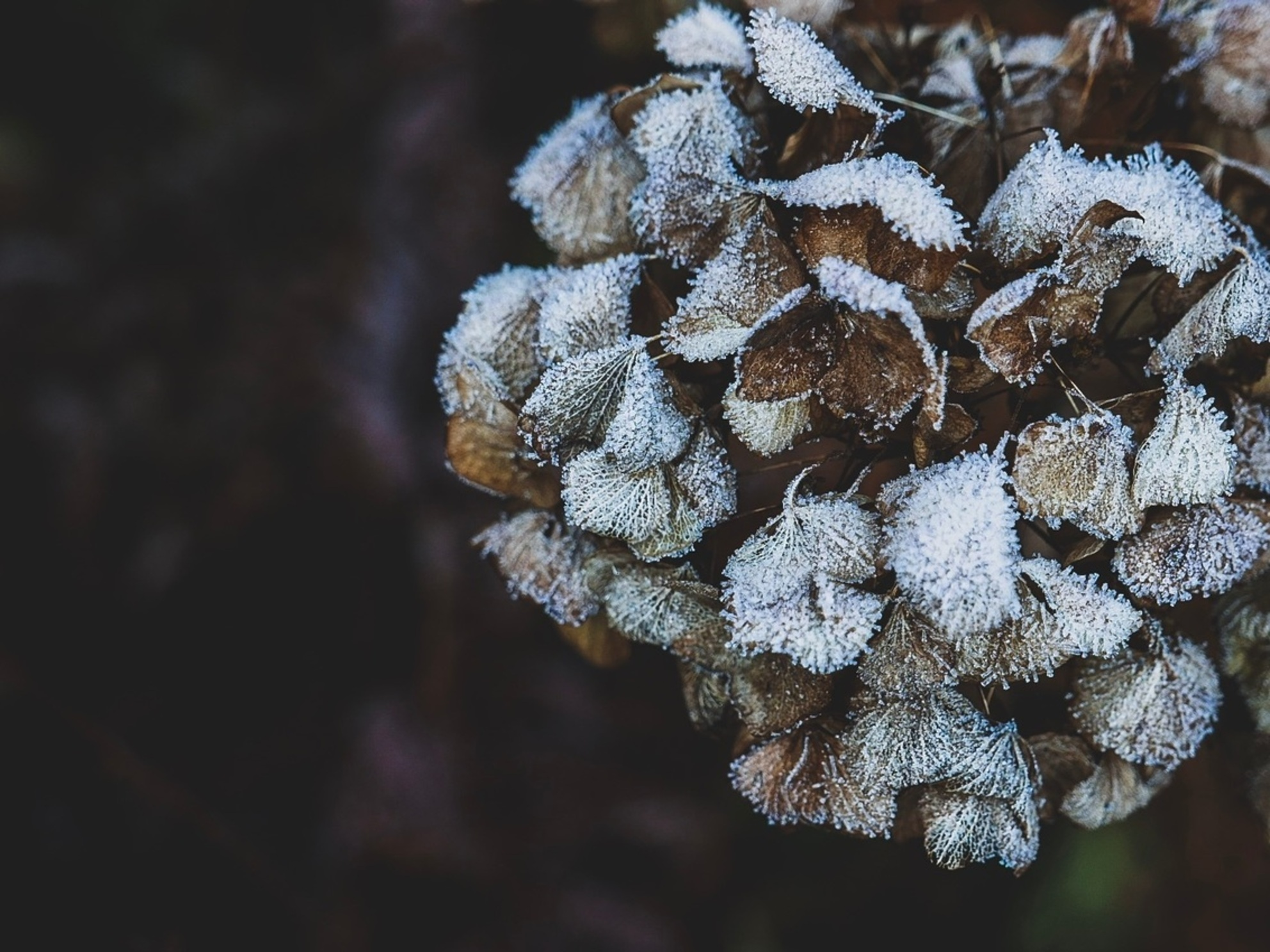 Hortensia - De hortensia is het hele jaar mooi. - foto door convust op 30-11-2016 - deze foto bevat: bloem, natuur, herfst, tuin, rijp, hortensia, vorst - Deze foto mag gebruikt worden in een Zoom.nl publicatie