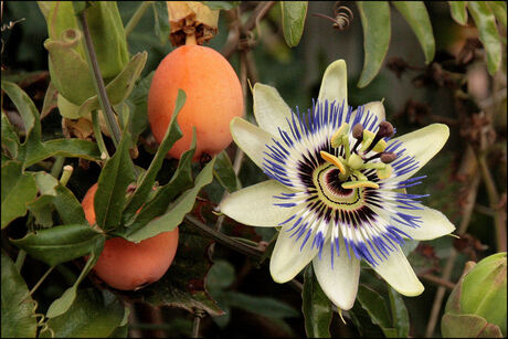 Passieflora met vruchten