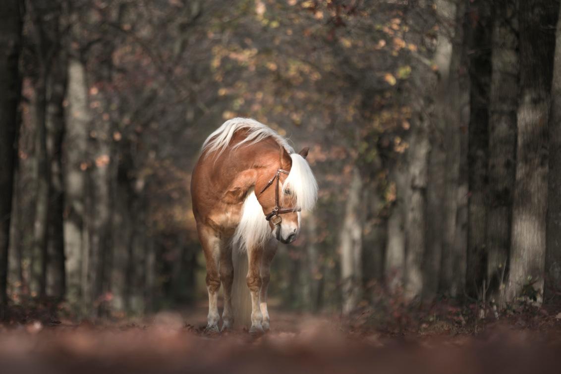 Haflinger - - - foto door riana op 05-01-2018 - deze foto bevat: bruin, paarden, herfst, paard, pony