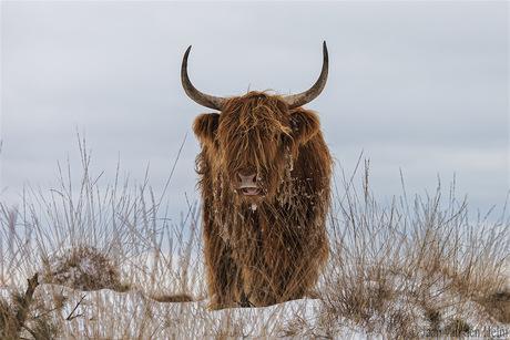 Highlander in Snow