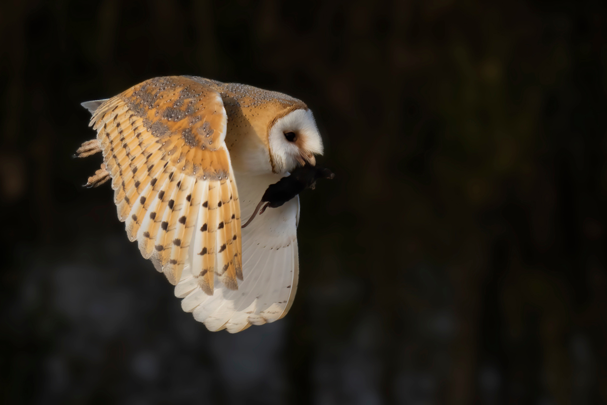 Kerkuil met prooi - Kerkuil vliegt snel met zijn prooi naar een veilig plekje. - foto door helga.teunissen op 07-03-2021 - deze foto bevat: uil, natuur, dieren, vogel - Deze foto mag gebruikt worden in een Zoom.nl publicatie