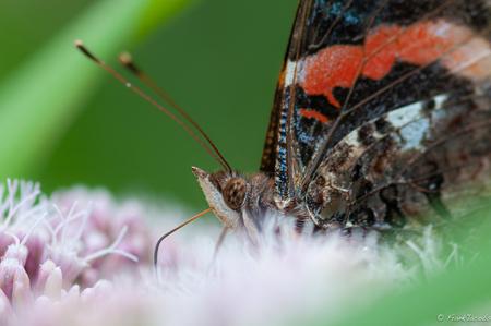 Sluuuuurrrrrrrp - - - foto door frankjacobs op 25-05-2019 - deze foto bevat: roze, groen, rood, macro, zon, bloem, natuur, vlinder, geel, licht, zomer, distelvlinder, insect, nikon, dof, frank jacobs, frankjacobs