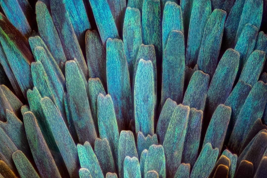 vleugelschubben van een motje 60x vergroting - - - foto door marcojongsma op 29-12-2020 - deze foto bevat: natuur, vlinder, licht, mot, insect, micro, dof, focusstacking, focus stacking, extreme macro, extrememacro, focis stacking