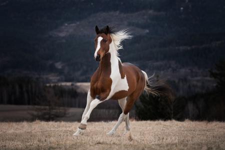 Rhaego - - - foto door Marielllee op 20-03-2020 - deze foto bevat: natuur, winter, paard, bos, bergen, noorwegen, kou, mountains, fotoshoot, forest, horse, norway, pferde, photoshoot, Pinto, hast, heste, pintohorse