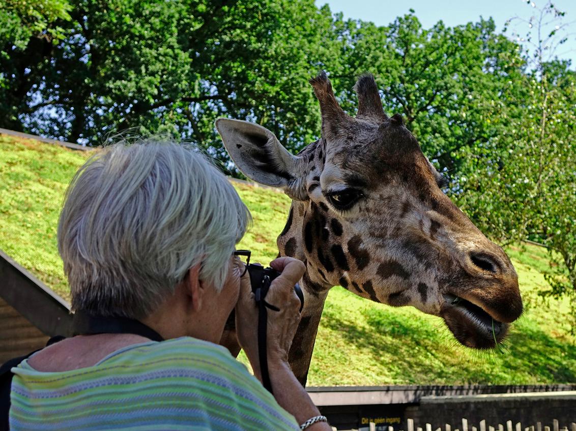 Oogcontact - Er was veel te zien en te beleven bij de giraffen in Emmen. gr. Nel - foto door Nel Hoetmer op 31-07-2014 - deze foto bevat: dieren, emmen, nel
