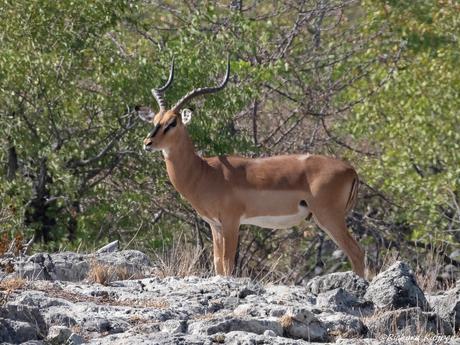 Zwartkop impala (Aepyceros melampus petersi)