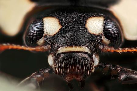 Darth Vader ? - Nee, een lhb'tje, gemaakt met vergrotingsfactor 10, f/7.1, ISO 100 en 1/250 sec. De grote versie is te zien op  [url]http://www.huubdewaardmacros.c - foto door hwdewaard op 14-03-2012 - deze foto bevat: macro, natuur, lieveheersbeestje, insect, dier, micro, huub, Zoom.nl, Darth Vader, lhb'tje