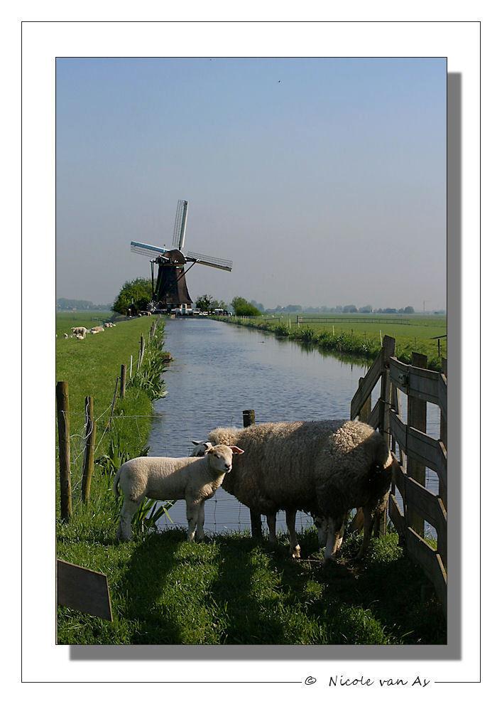 In de polder IV - Van de week nog geen 5 km. van mijn bed, heerlijk met de camera op stap in de polder.  Een hele andere wereld.  Geen drukte, natuur, geuren, jong g - foto door nicole-8 op 23-04-2009 - deze foto bevat: portret, dieren, schaap, dier, canon, polder, aarlanderveen, zwammerdam, nivas, eos450d
