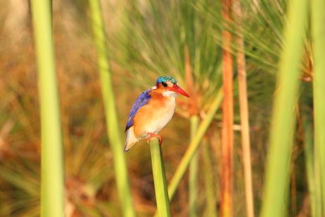 IJsvogel in Botswana