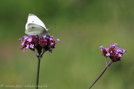 teer vlindertje
