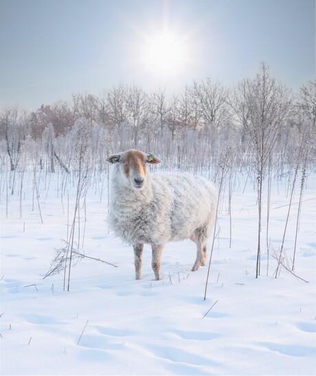 winterschaapje