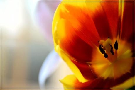 Een tulp in bloei