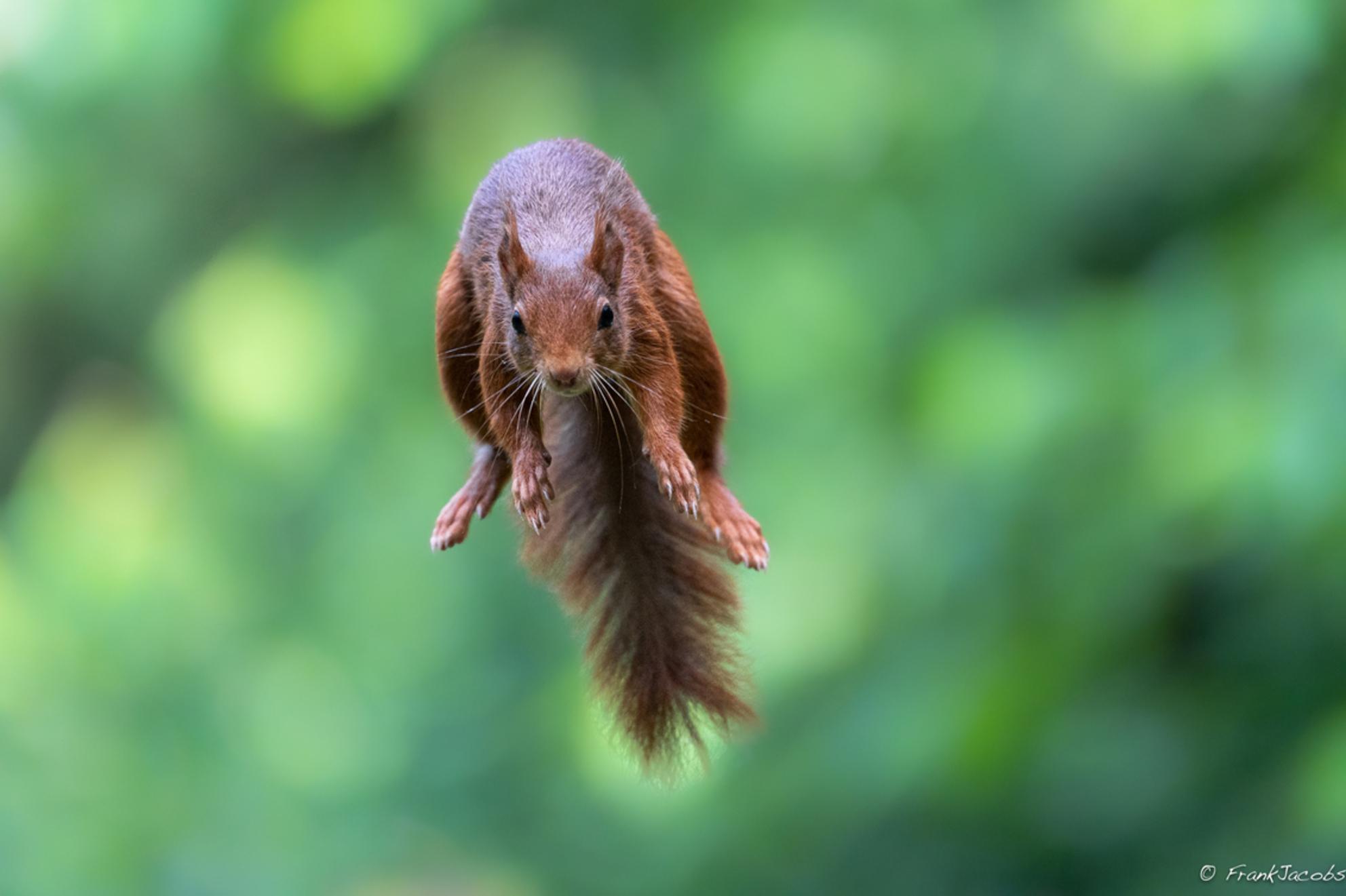 Supersquirr returns!! - - - foto door frankjacobs op 02-06-2019 - deze foto bevat: natuur, dieren, eekhoorn, nikon, wildlife, frank jacobs, frankjacobs, nikon d5 - Deze foto mag gebruikt worden in een Zoom.nl publicatie