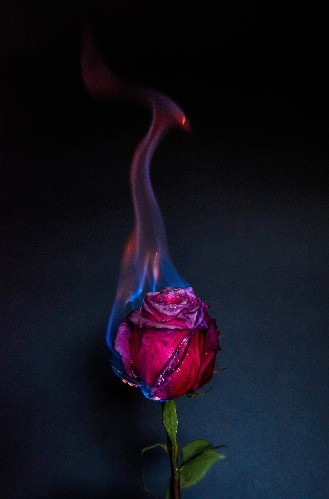a rose is a rose - - - foto door jandeuzeman op 30-10-2017 - deze foto bevat: donker, bloem, roos, vuur