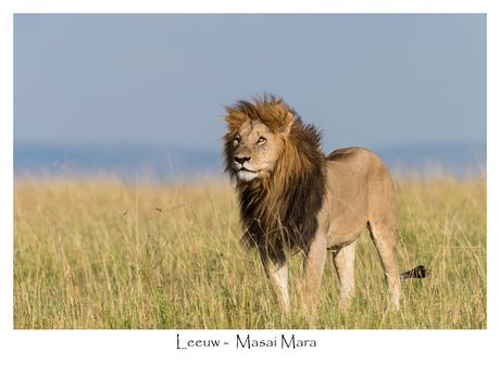 Leeuw in de Masai Mara