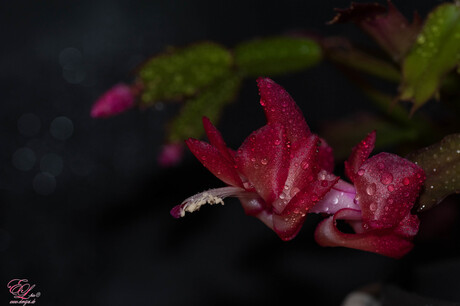 lidcactus