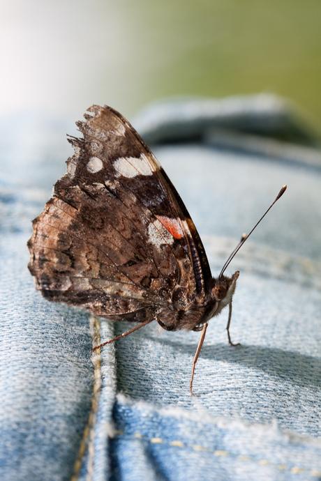 Butterfly on Denim