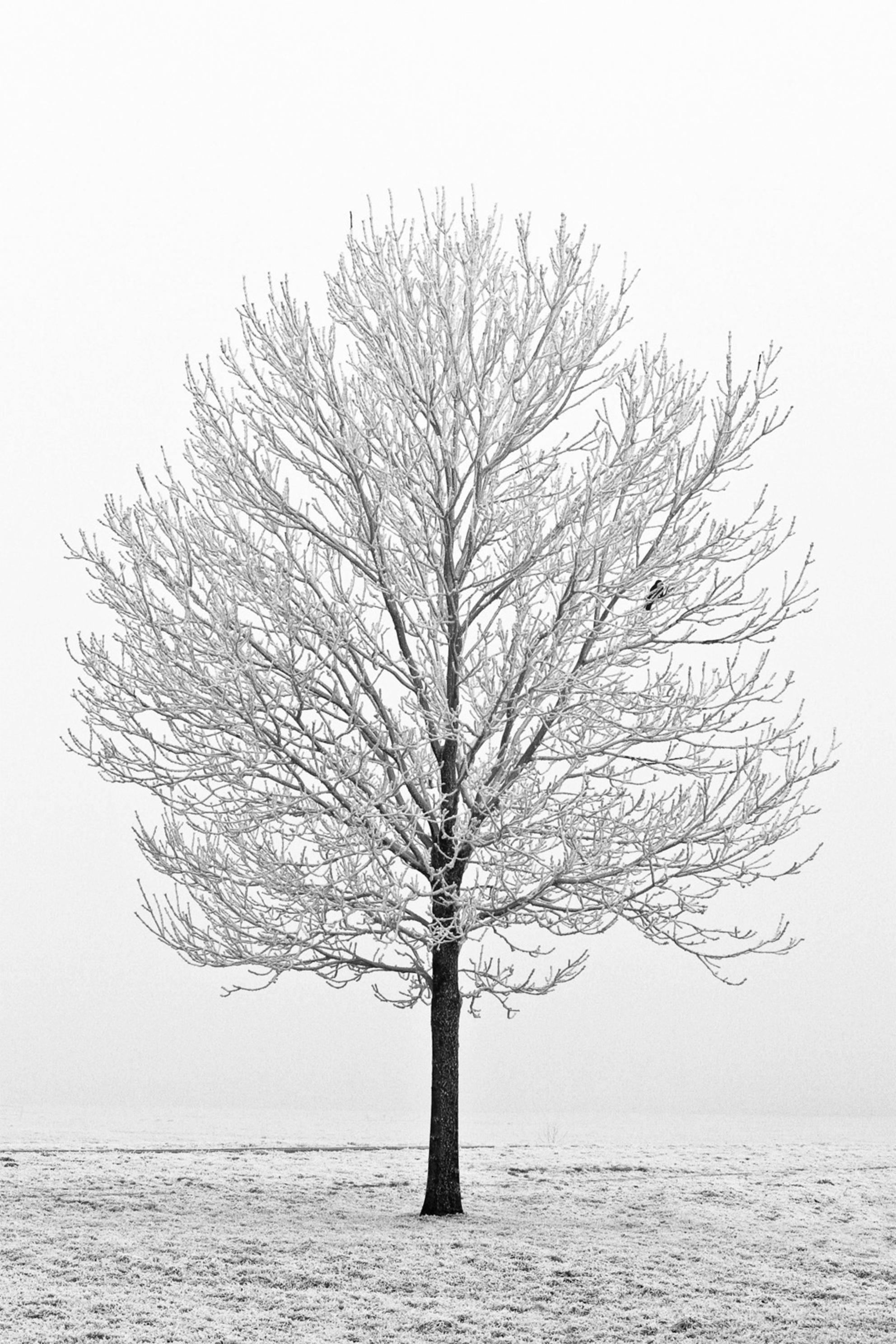 Winterboom - - - foto door Vanmas op 13-11-2009 - deze foto bevat: boom, sneeuw, rijp, winter, koud, kou