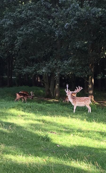 spreekt voor zich - he have the look - foto door Gooiseroos op 20-08-2017 - deze foto bevat: gras, groen, zon, boom, natuur, geel, blad, dieren, landschap, bos, reeen, zomer, hert, nederland, biesbosch, gewei