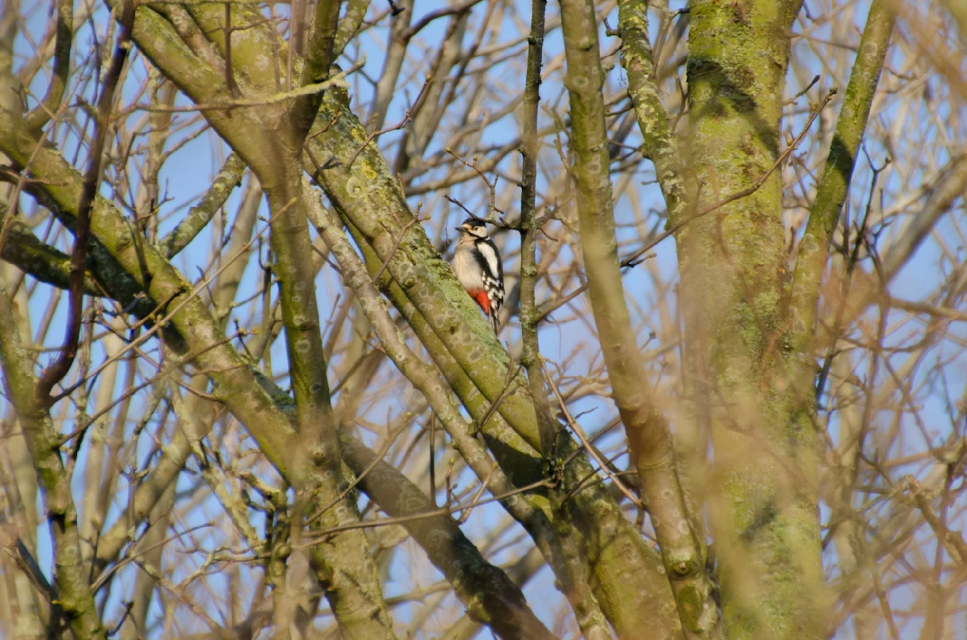 Bonte Specht - Hij zat wel erg hoog in de bomen maar toch te pakken dat schuwe vogeltje. - foto door klavertje1234@hotmail.com op 18-01-2013 - deze foto bevat: specht, bomen, bonte specht - Deze foto mag gebruikt worden in een Zoom.nl publicatie