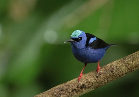 Suikervogel Costa Rica.