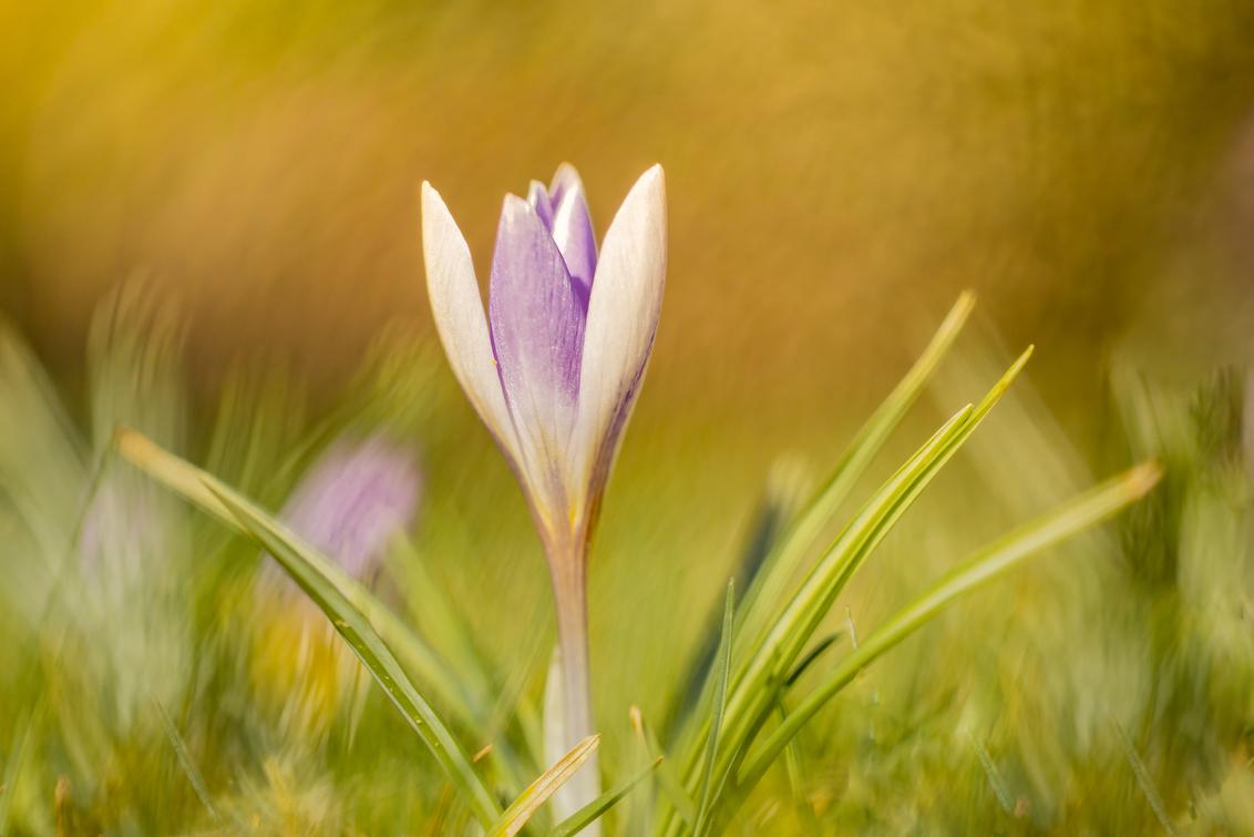 Something different.... - Zo af en toe wil je eens wat anders. Bovendien is het momenteel nog niet de  tijd voor mijn favoriete onderwerpen. Dan blijkt ook nog dat het best la - foto door franspelzer op 15-03-2021 - deze foto bevat: groen, bloem, natuur, tuin, krokus, voorjaar, sfeer, franspelzer