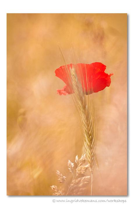 Wheat & Poppy