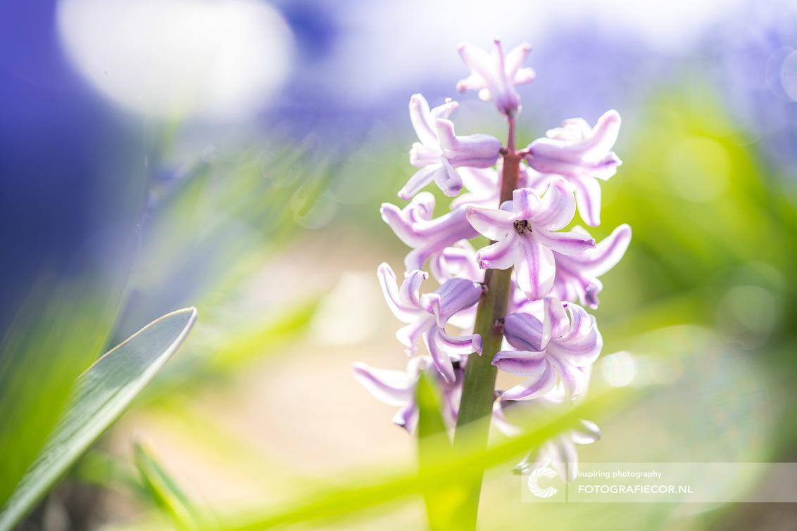 Lente in de polder - Kruipend over de grond, met je lijf in de modder en de wind, guur waaiend over de hoofd. Fotograferen is niet altijd leuk maar al je zon stukje lente - foto door Fotografiecor op 19-04-2020 - deze foto bevat: kleuren, macro, zon, bloem, lente, licht, tuin, tulp, landschap, hyacint, tegenlicht, voorjaar, detail, nederland, bollenveld, bollenteelt, rimlicht