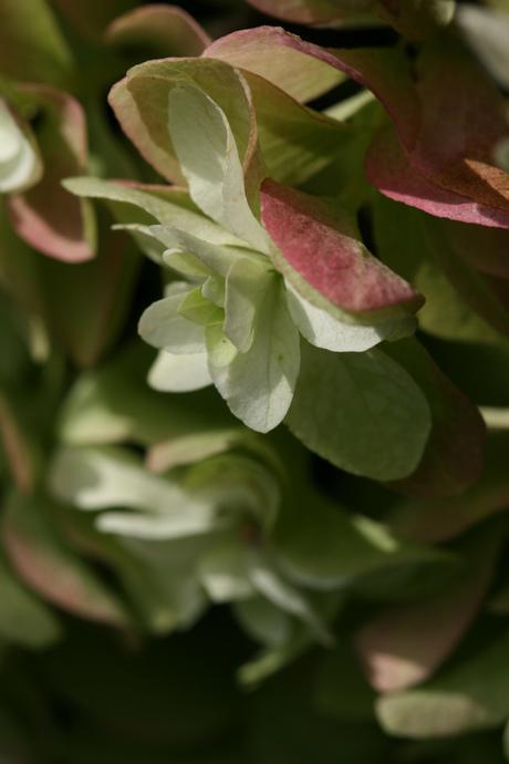 Eikenbladhortensia I