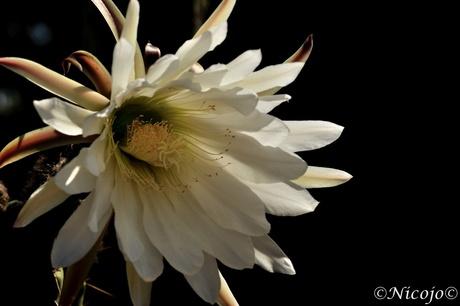 Cactus bloem.