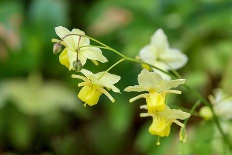 Epimedium versicolor(Elfenbloem)